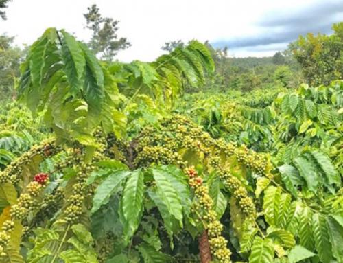 Tìm hiểu về cà phê Culi, bạn đã hiểu hết về loại hạt cà phê này chưa ?