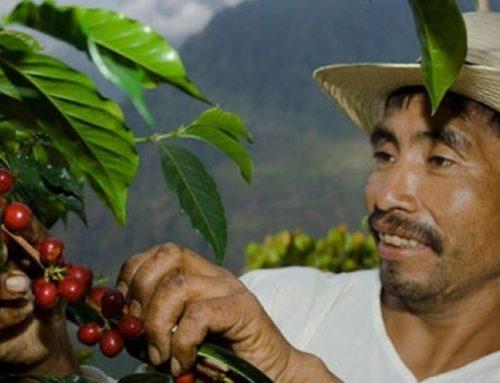 Thu hoạch cà phê vào thời điểm nào trong năm ?